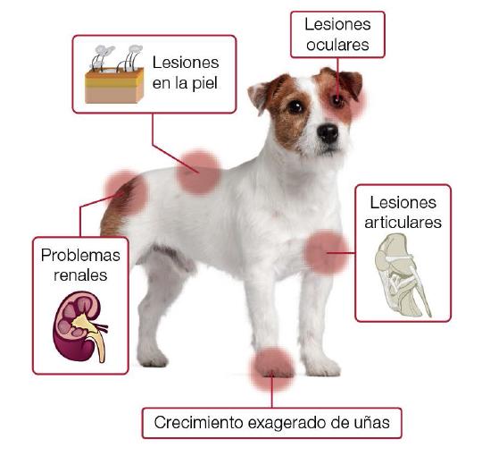 leishmaniosis_canina3